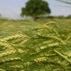 Moist Grain Options Farming Note