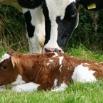Calcium & Phosphorus in Lactation Diets Farming Note