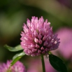 Red Clover Trial Update
