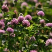 Red Clover Farming Note