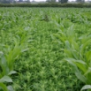 Maize Sprays & Treatments Farming Note