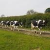 Lameness & Behaviour in Dairy Cows