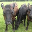 Copper & Cow Health Farming Note