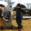 RESEARCH insight – Disbudding Calves
