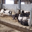 Loose Housing - Design & Operation Farming Note